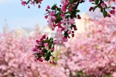 西府海棠花开