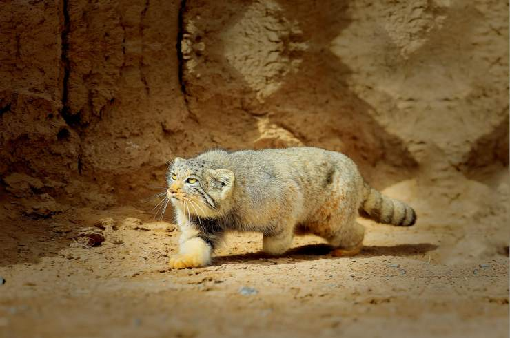 荒漠猫遇到家猫图片